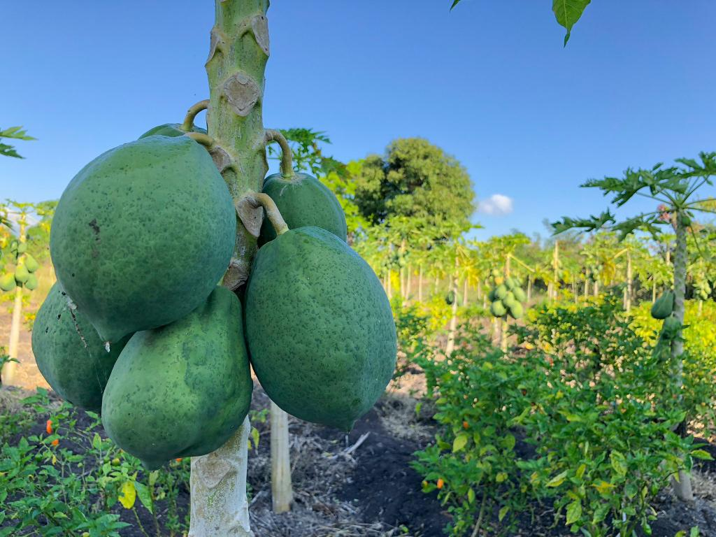 Haiti_agri_fruit_2018-3